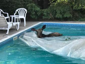 Man finds a moose swimming in his pool