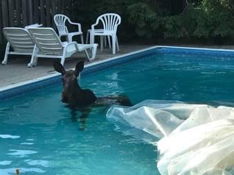 Moose falls into guy's pool in Ottawa