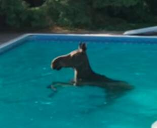 Female moose swims in pool