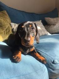 Mini Daschund always sits in the sun