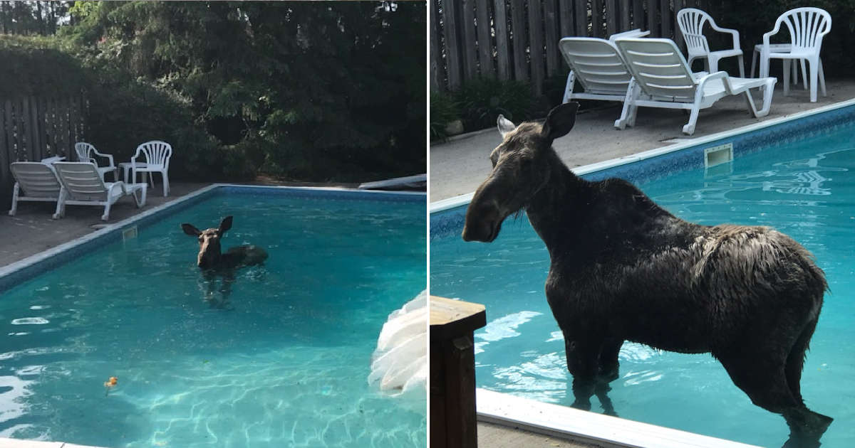 Couple Wakes Up To Find A Moose Going For A Swim In Their Backyard