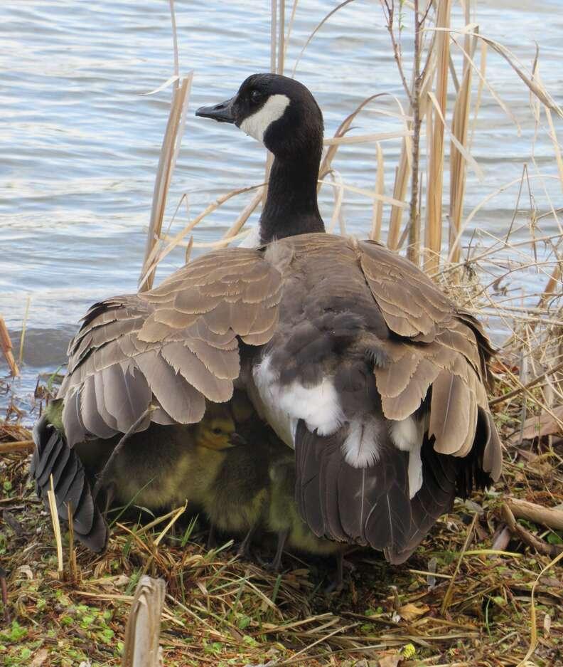 Goslings sleep under their mom's wings