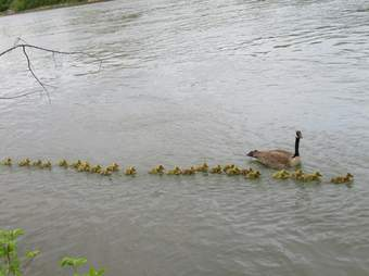 Mother goos watches over 47 goslings