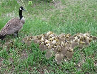 Mother goose watches her babies sleep