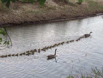 Mother goose watches over 47 babies
