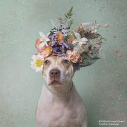 Blossom the homeless pittie starts her fifth stay in the shelter
