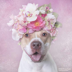 Blossom the shelter pit bull wears a flower crown