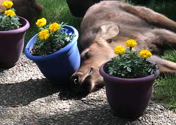 Baby moose knocks over flower pot