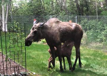Moose mom and her babies lounging in the sun