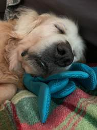 Theo the foster dog snuggles his favorite toy