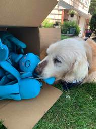 Theo the senior dog get a surprise present