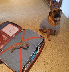Dog puts her toy in her sitter's suitcase