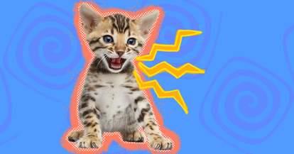 Cat Chirping
