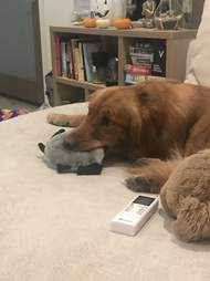 Dog cuddling with stuffed animal toy
