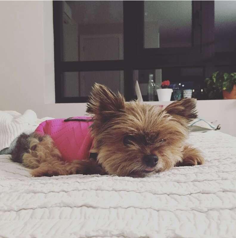 Dog relaxing in a ThunderShirt
