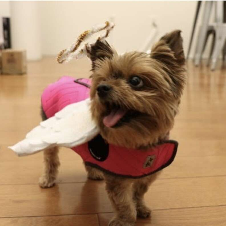 Dog wearing ThunderShirt with added wings