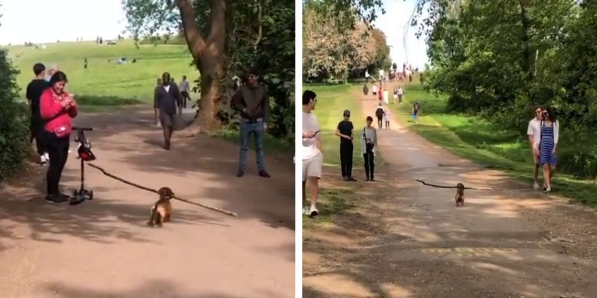 Little Dog Carrying A Giant Stick Makes Everyone Who Sees Him Smile