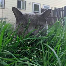 Loki the cat eating grass
