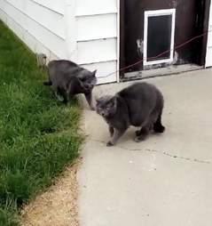 Loki the cat confronts his doppleganger