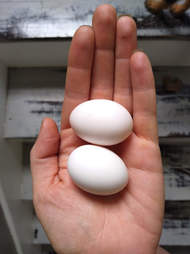 woman rescues pigeon eggs