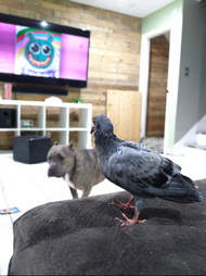 woman rescues pigeon