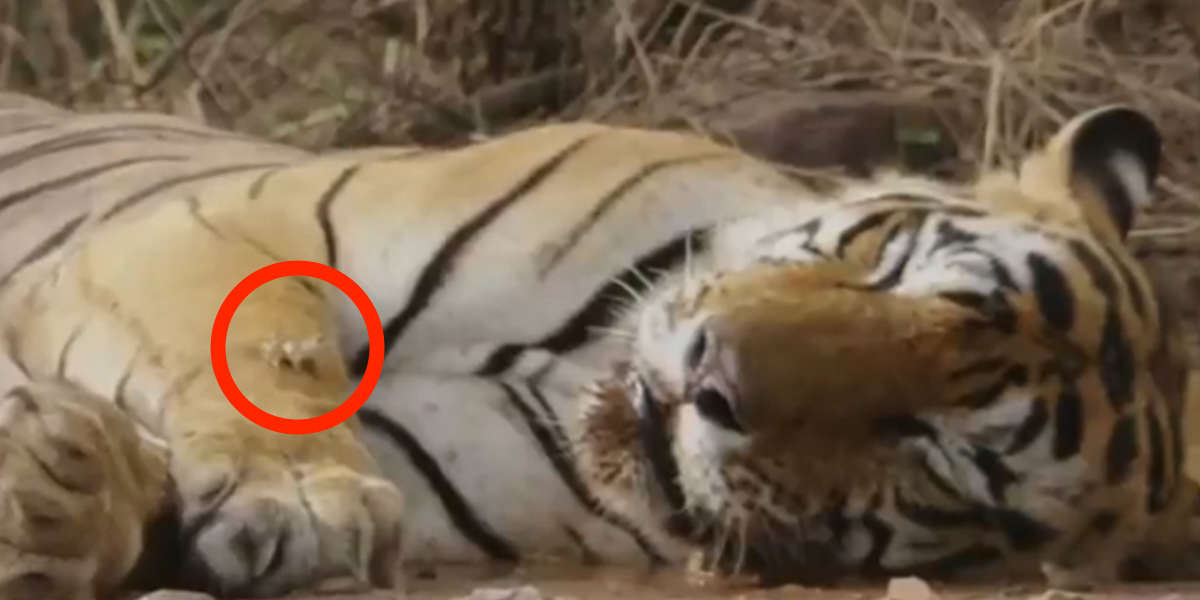 Watch This Fearless Little Frog 'Body Slam' A Sleeping Tiger