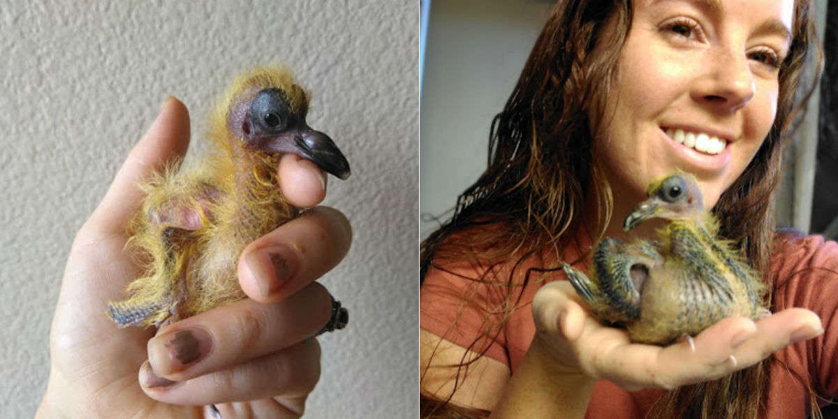 Baby Pigeon Meets Woman And Decides She's Her Mom Forever