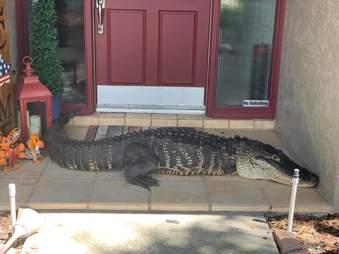 Alligator sleeps on doorstep