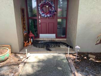 An alligator at the front door