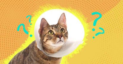 Cat Neuter
