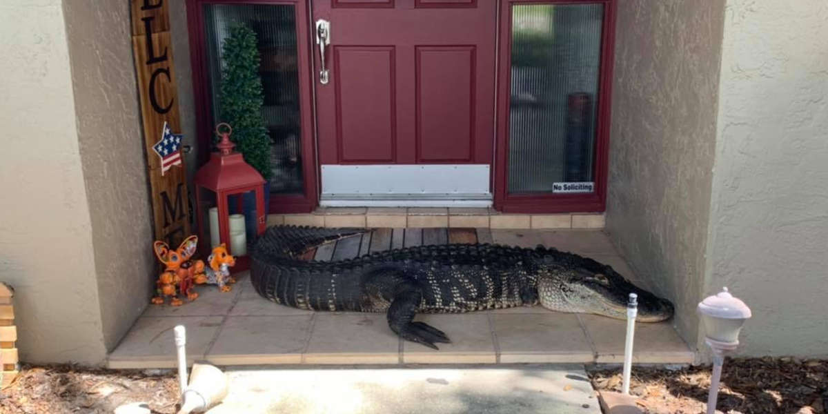 Family Opens Their Front Door To Find A Giant Alligator On Their Doorstep