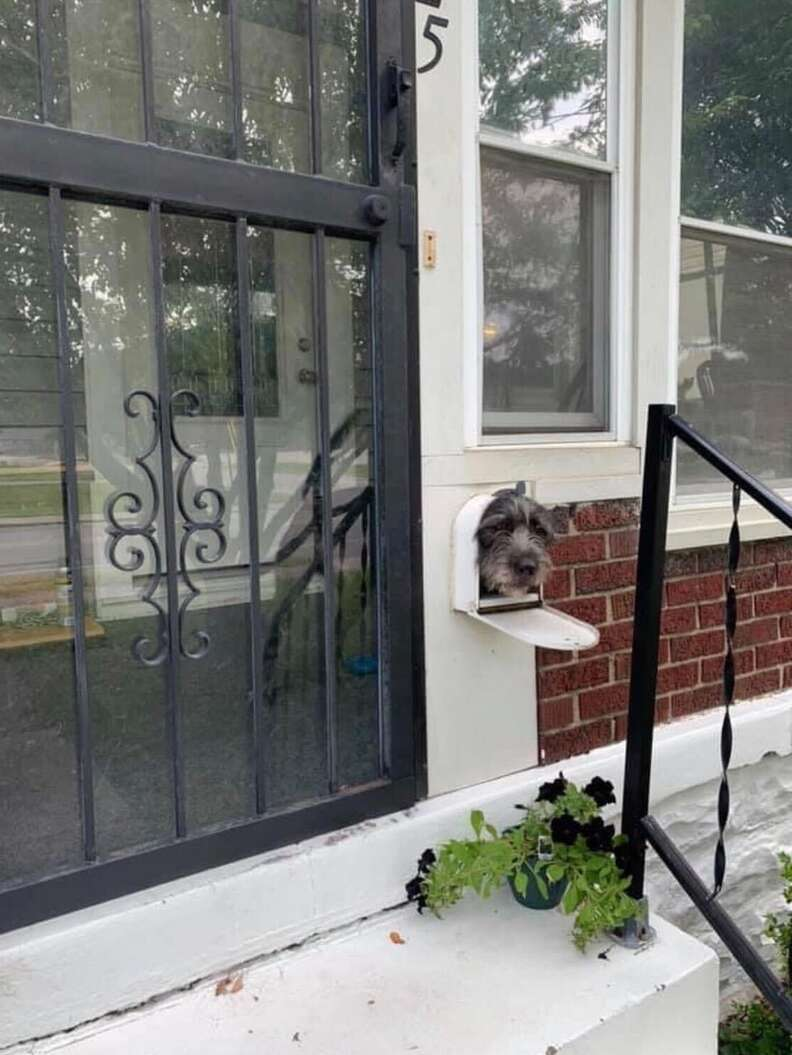 Dog pokes his head out of the mailbox