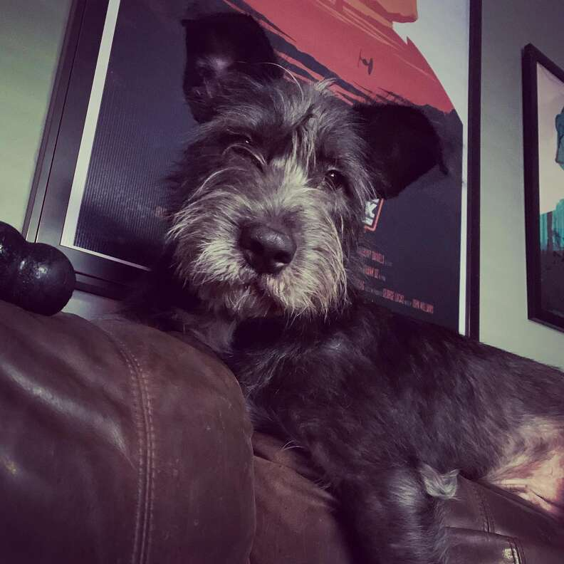 Rigby the dog relaxes on the couch