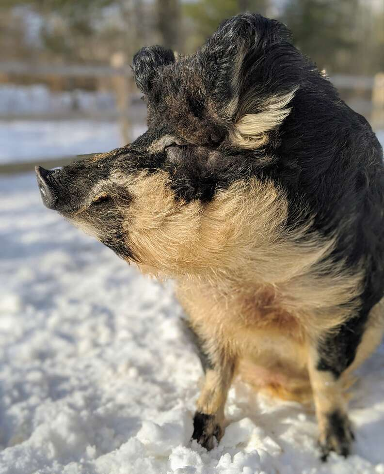 Angus the rescued Mangalitsa pig with a fluffy coat