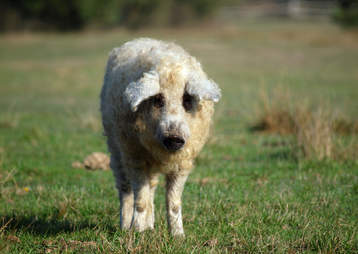 Fluffy mangalitsa pig looks like a sheep