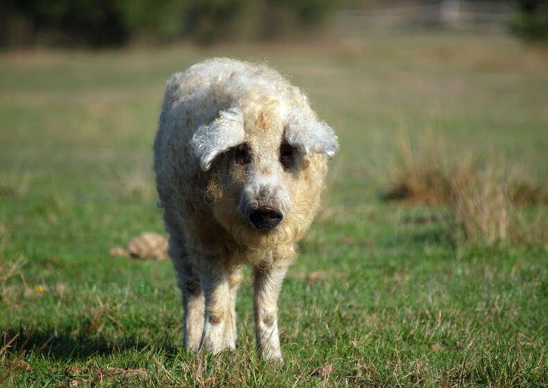 Fluffy mangalitsa pig looks like a sheep