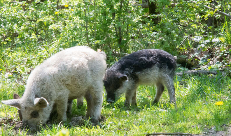 Hairy Hungarian sheep pig graze in the grass