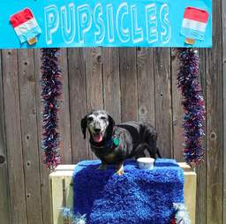 Moose the senior dachshund selling pupsicles