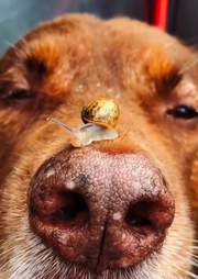 Baby snail rides around on dog's nose