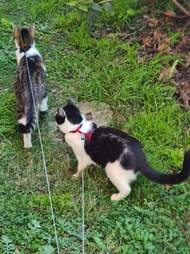 cats walking on leash