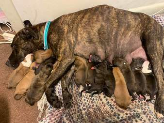 Dog gives birth to 15 puppies