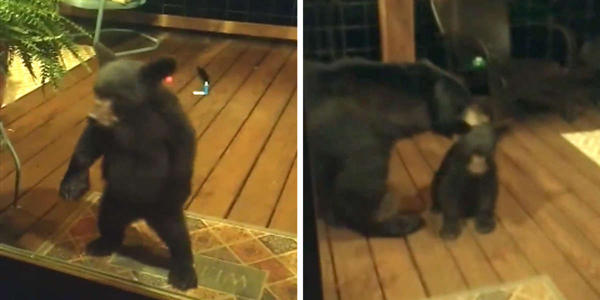 Baby Bear Gets In Trouble With His Mom For Peeking Into People's Window