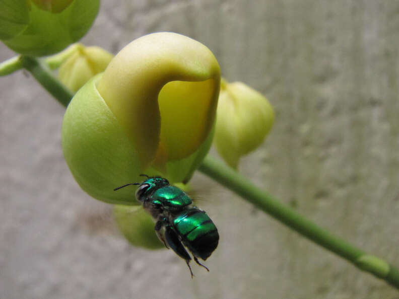 Green orchid bee pollinates a flower