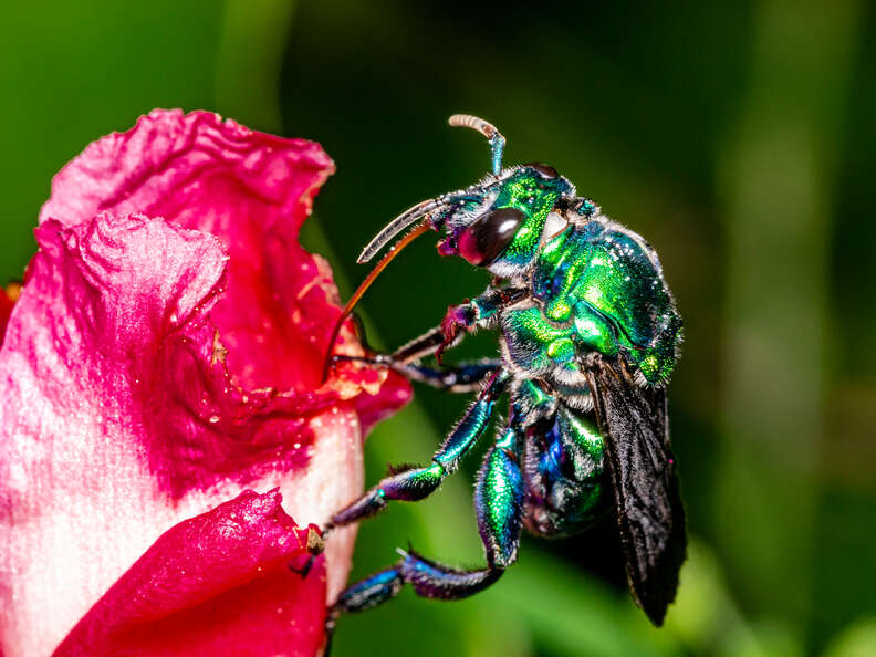 Green orchid bee with a very long tongue