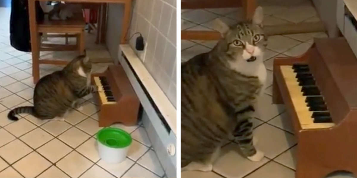Cat Taught To Play Music For Treats Now Won't Stop Tapping His Tiny Piano