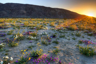 Blooming Desert, near Borrego Springs