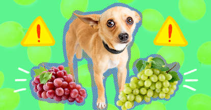 Can Dogs Eat Grapes And Raisins