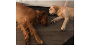 Golden retrievers sleeping