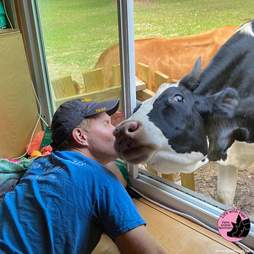 Cow asks for hugs