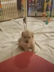 mohawk dog